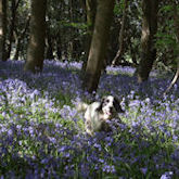 Cocker in the bluebells